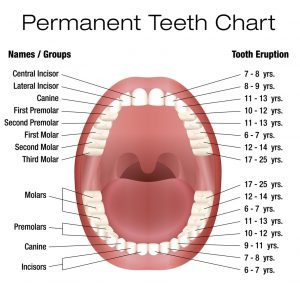 Your childrens dentist in center explains tooth eruption in kids what is the order of tooth eruption in kids ccuart Gallery